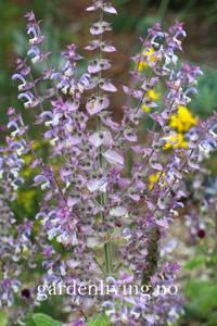 Bilde av Muskatsalvie - Salvia sclarea