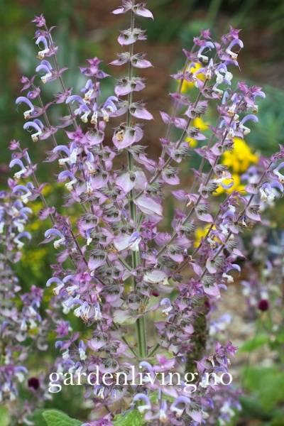Muskatsalvie - Salvia sclarea