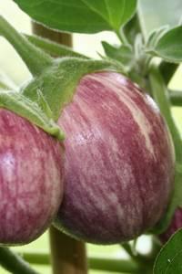 Bilde av Aubergine 'Pinstripe F1' - Solanum melongena