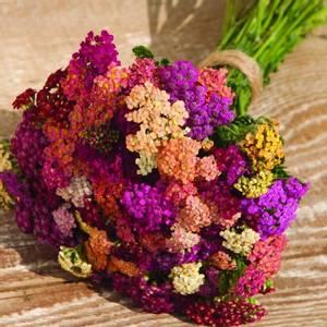 Bilde av Ryllik 'Colorado Mixed' - Achillea millefolium