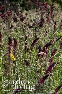 Bilde av Purpurfredløs 'Beaujolais' - Lysimachia atropurpurea