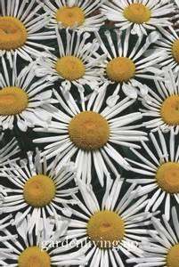 Bilde av Prestekrage 'Silver Spoons' - Leucanthemum x suberbum