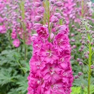 Bilde av Ridderspore 'Pink Punch' - Delphinium