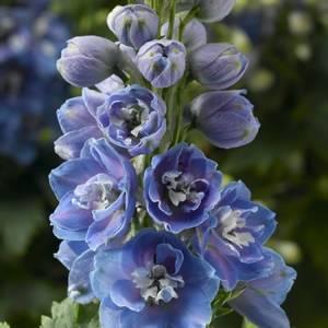 Bilde av Ridderspore 'Delphina Light Blue' - Delphinium