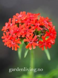 Bilde av Brennende kjærlighet - Lychnis chalcedonica