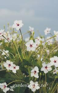 Bilde av Mirakelblomst - Mirabilis longiflora