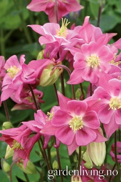 Akeleie 'Winky Rose & Rose' - Aquilegia