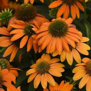 Bilde av Solhatt, Purpur- 'Artisan Soft Orange' F1 - Echinacea