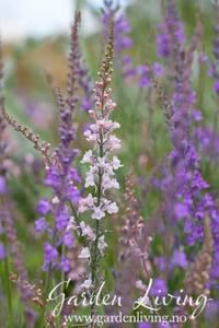 Bilde av Purpurtorskemunn 'Canon J. Went' - Linaria purpurea