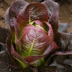 Bilde av Salat, Romano 'Moon Red' - Lactuca