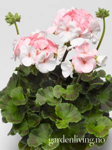 Bilde av Pelargonium 'Pinto White To Rose'