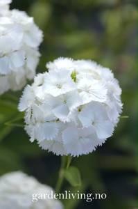Bilde av Nellik, busk- 'Alba' - Dianthus barbatus