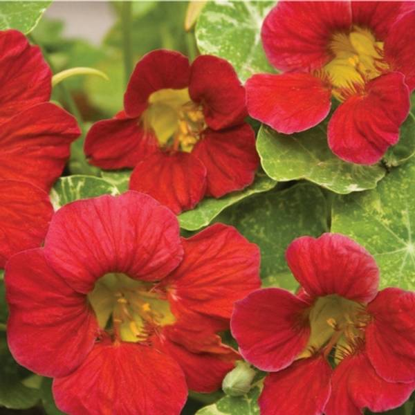 Blomkarse 'Alaska Cherry Rose', lav - Tropaeolum majus