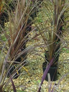 Bilde av Australdrakelilje 'Purpurea' - Cordyline australis