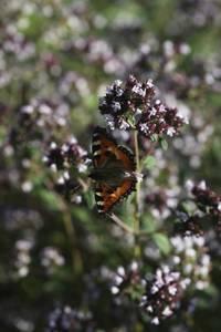 Bilde av Oregano - Origanum vulgare
