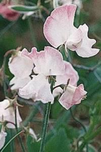 Bilde av Blomsterert 'Anniversary' - Lathyrus odoratus