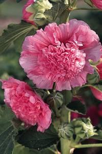 Bilde av Stokkrose 'Chater's Double Rose Pink' - Alcea rosea