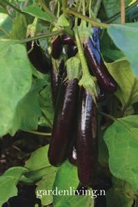 Bilde av Aubergine 'Hansel' F1 - Solanum melongena