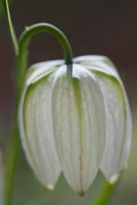 Bilde av Rutelilje 'Alba' - Fritillaria meleagris - 6 stk