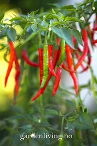 Bilde av Chilipepper 'Curry Pepper' - Capsicum annuum
