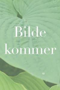 Bilde av Stemorsblomst 'Karma Blue Butterfly' - Viola x wittrockiana