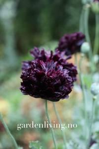 Bilde av Valmue, pion- 'Black Beauty' - Papaver somniferum