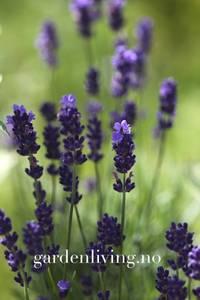 Bilde av Lavendel 'Hidcote Blue' - Lavandula
