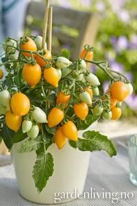 Bilde av Tomat, Drivhus- busk 'Funnyplum Orange'
