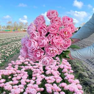 Bilde av Tulipan 'Mariage', Sen dobbel - 10 stk