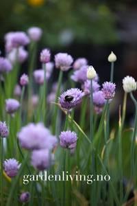 Bilde av Gressløk 'Biggy' - Allium schoenoprasum