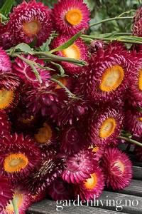 Bilde av Høststråblomst 'Pomegranate' - Xerochrysum bracteatum