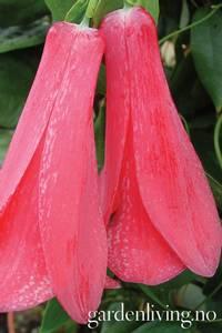 Bilde av Lapageria rosea