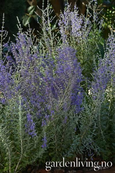 Blåbusk 'Blue Steel' - Perovskia atriplicifolia