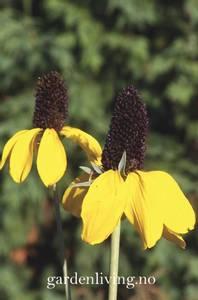 Bilde av Rudbeckia amplexicaulis