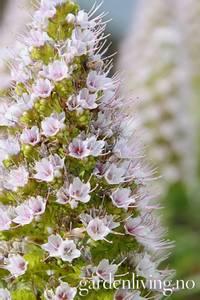 Bilde av Echium pininana 'White Tower'