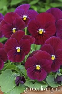 Bilde av Hornfiol 'Carmine Rose' F1 - Viola cornuta