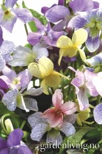 Bilde av Marsfiol 'Memories' - Viola odorata