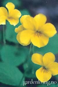 Bilde av Marsfiol 'Sulphurea' - Viola odorata