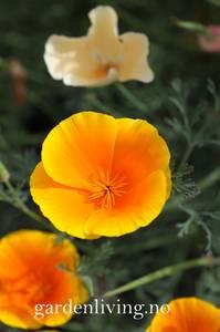 Bilde av Kaliforniavalmue 'Orange King' - Eschscholtzia californica
