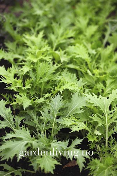 Mizuna - Brassica rapa var. nipposinica