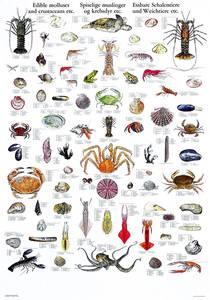 Bilde av Plansje, spiselige muslinger