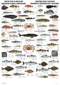 Bilde av Plansje, arktiske fisk og
