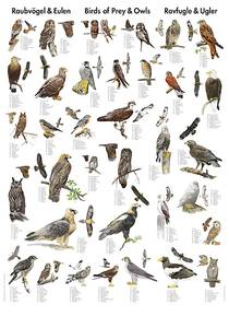 Bilde av Plansje. rovfugler og ugler