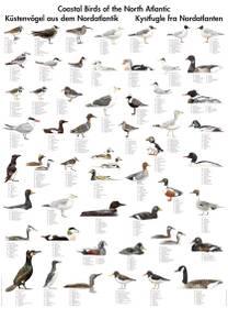 Bilde av Plansje, kystfugler fra