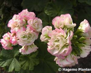 Bilde av Appleblossom Rosebud