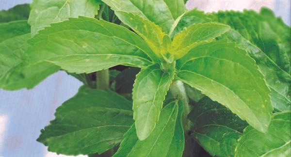 Stevia rebaudiana 'Candy'