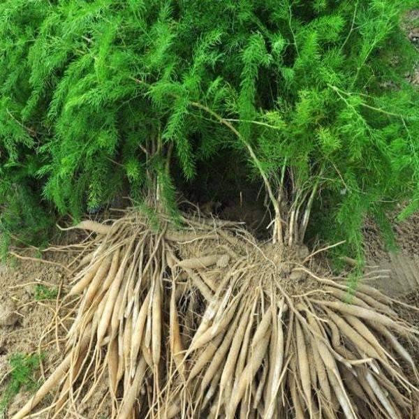 Organic India Shatavari 90 kapsler