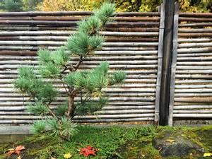 Bilde av Norsk furu : Pinus sylvestris : Niwakibeskåret
