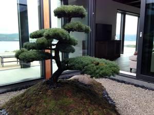 Bilde av Furu skulpturell (Niwaki)