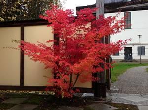 Bilde av Japanlønn – Acer palmatum (ca 1,5m.)